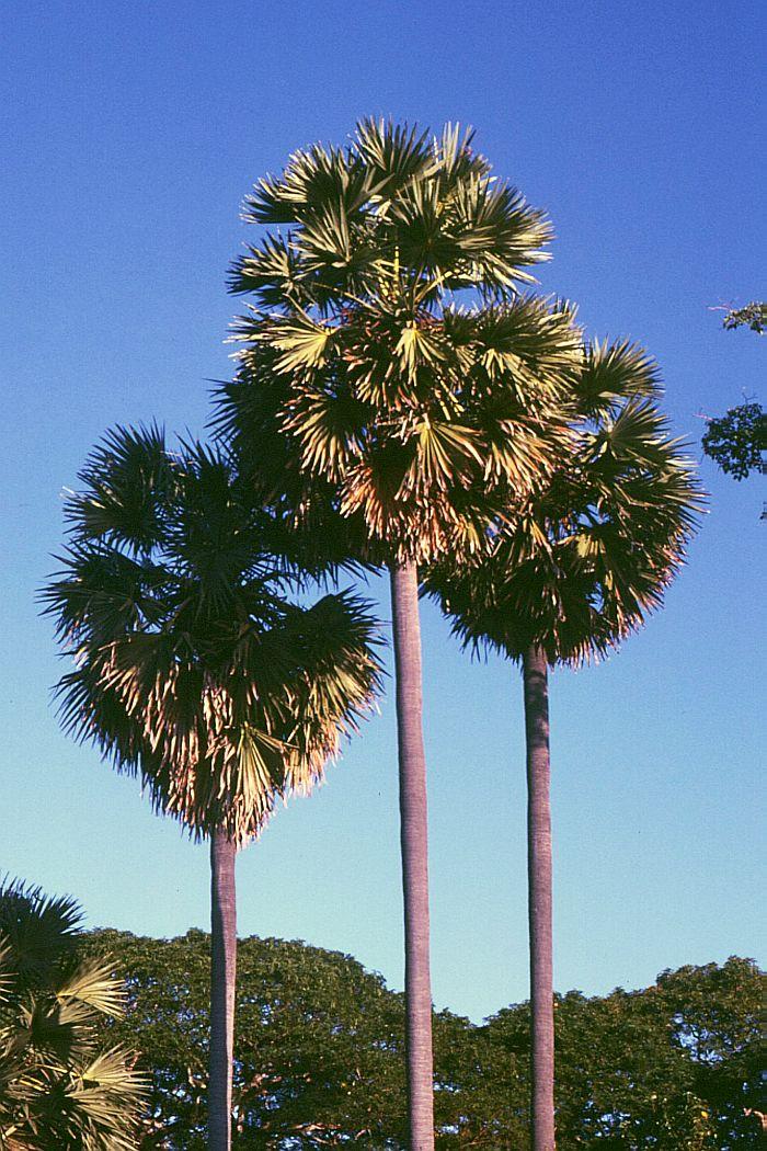 パルミラ椰子の木